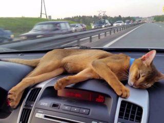 Животное в машине может стать поводом для штрафов