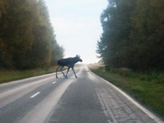 Как избежать столкновения, если на дорогу выбежал лось